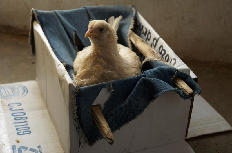 An injured chick also finds refuge in her kitchen.